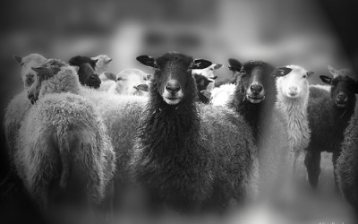 How Many Sheep Are in Your Bedroom?